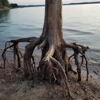 These underwater roots that are no longer underwater