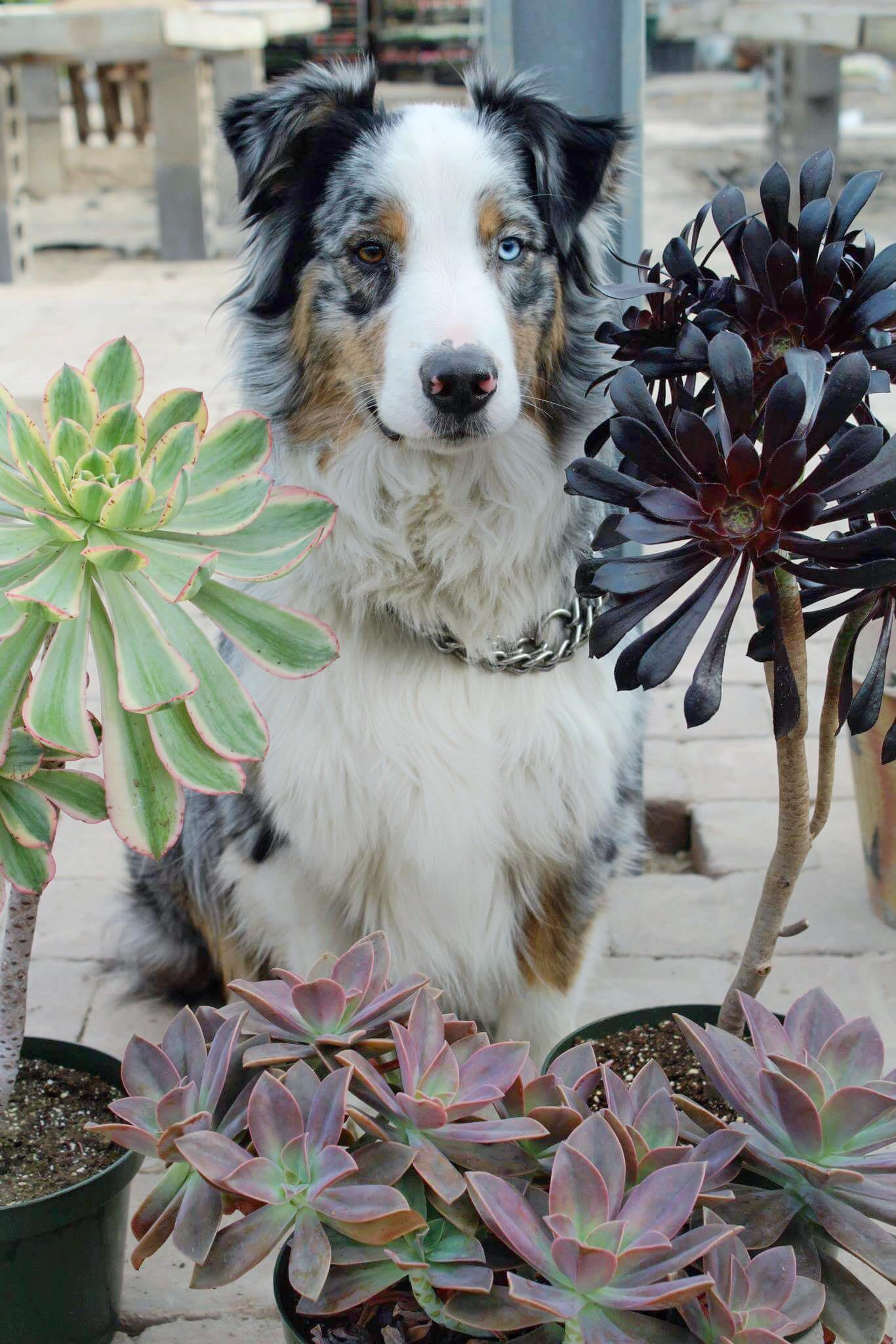 Mini Aussie Size Comparison : aussie, comparison, These, Aeoniums, Started, Succulent, Addiction., Aussie, Comparison, Wasn't, Awkward, Puppy, 😂), Succulents