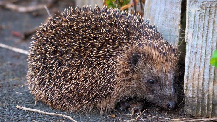 European Hedgehog (Erinaceus europaeus) [2048 x 1152]