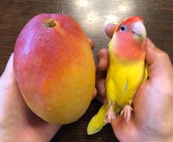 Uno de los dos es un mango