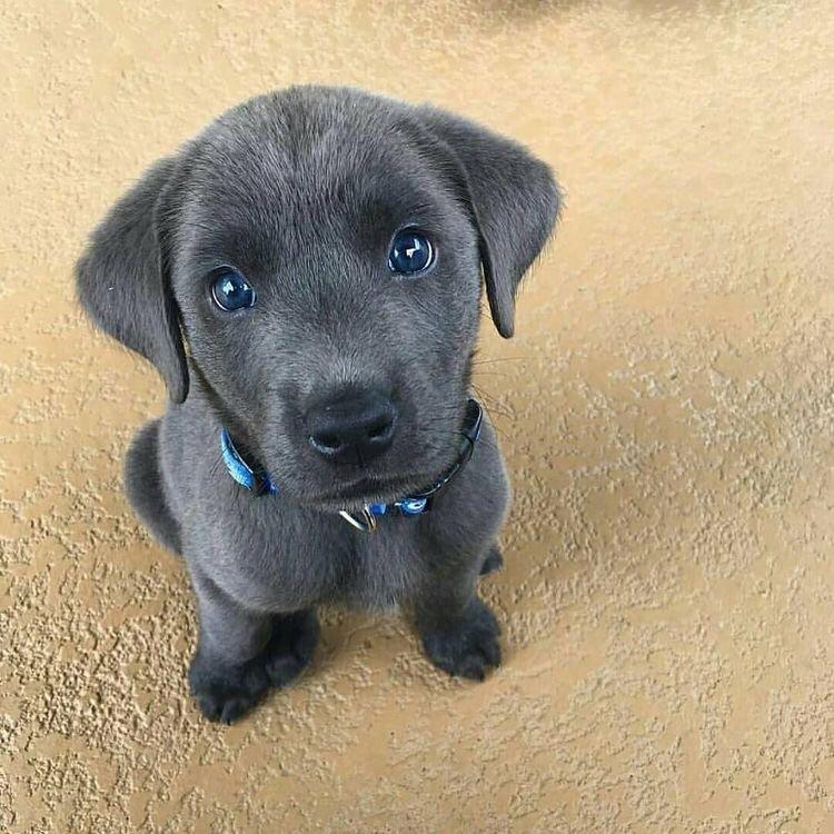 blue eyed puppy aww
