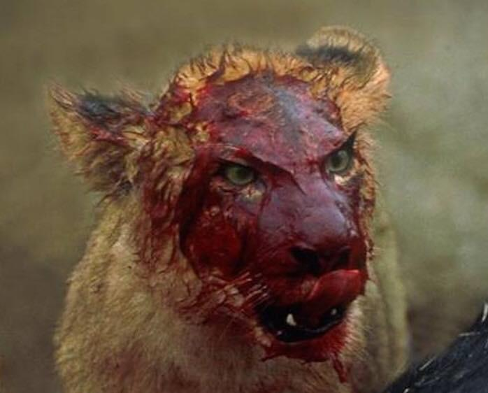 Lioness donning the crimson mask. : natureismetal