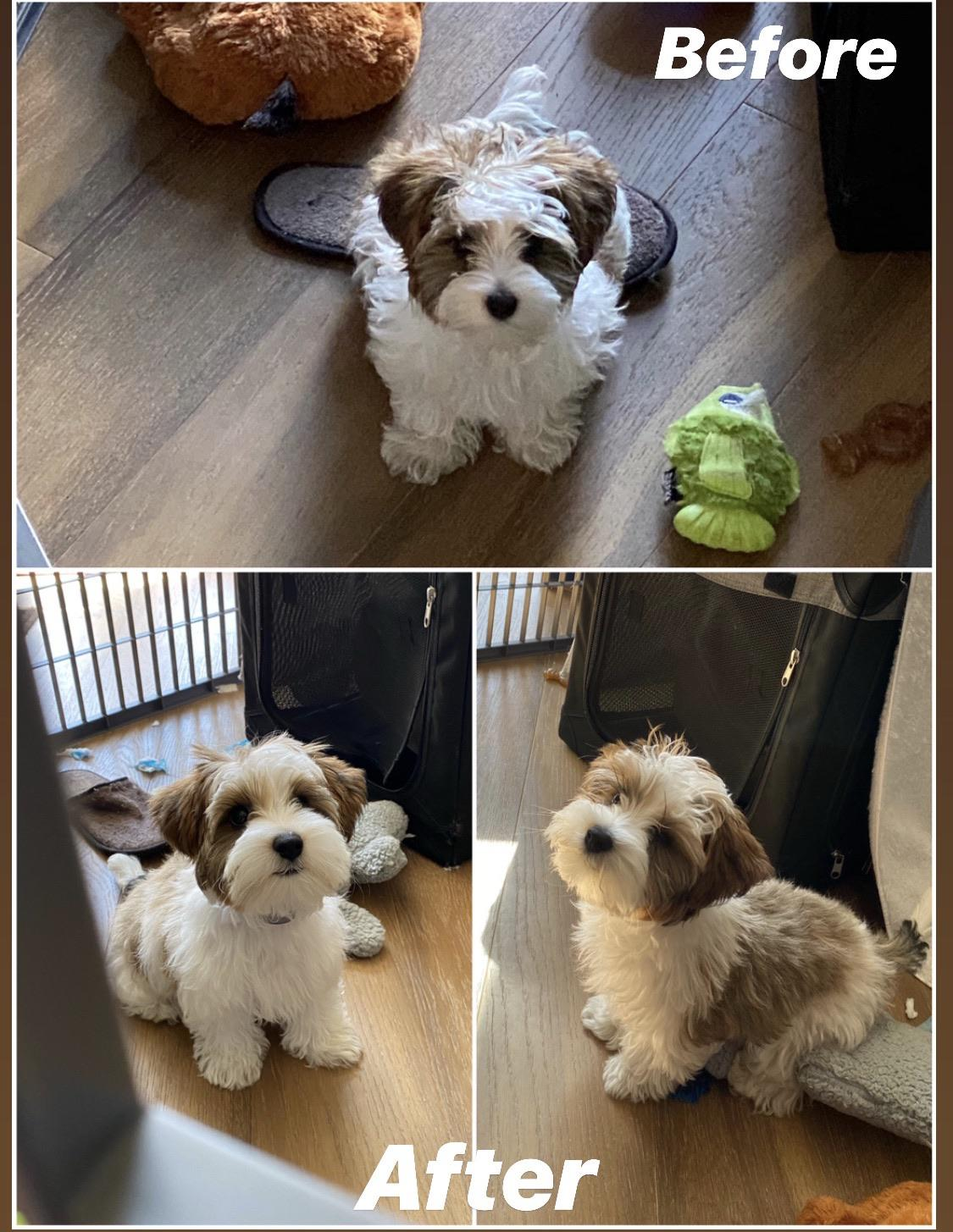 Yorkie Puppy Cut Vs Teddy Bear Cut : yorkie, puppy, teddy, Teddy, Haircut, Biewer., First, Grooming, Yorkies