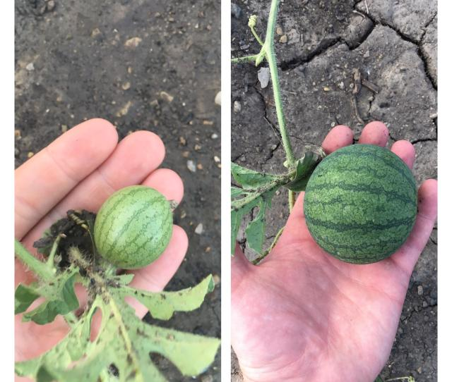 The Growth Of My Sugar Baby Watermelon From  Days Ago And Today
