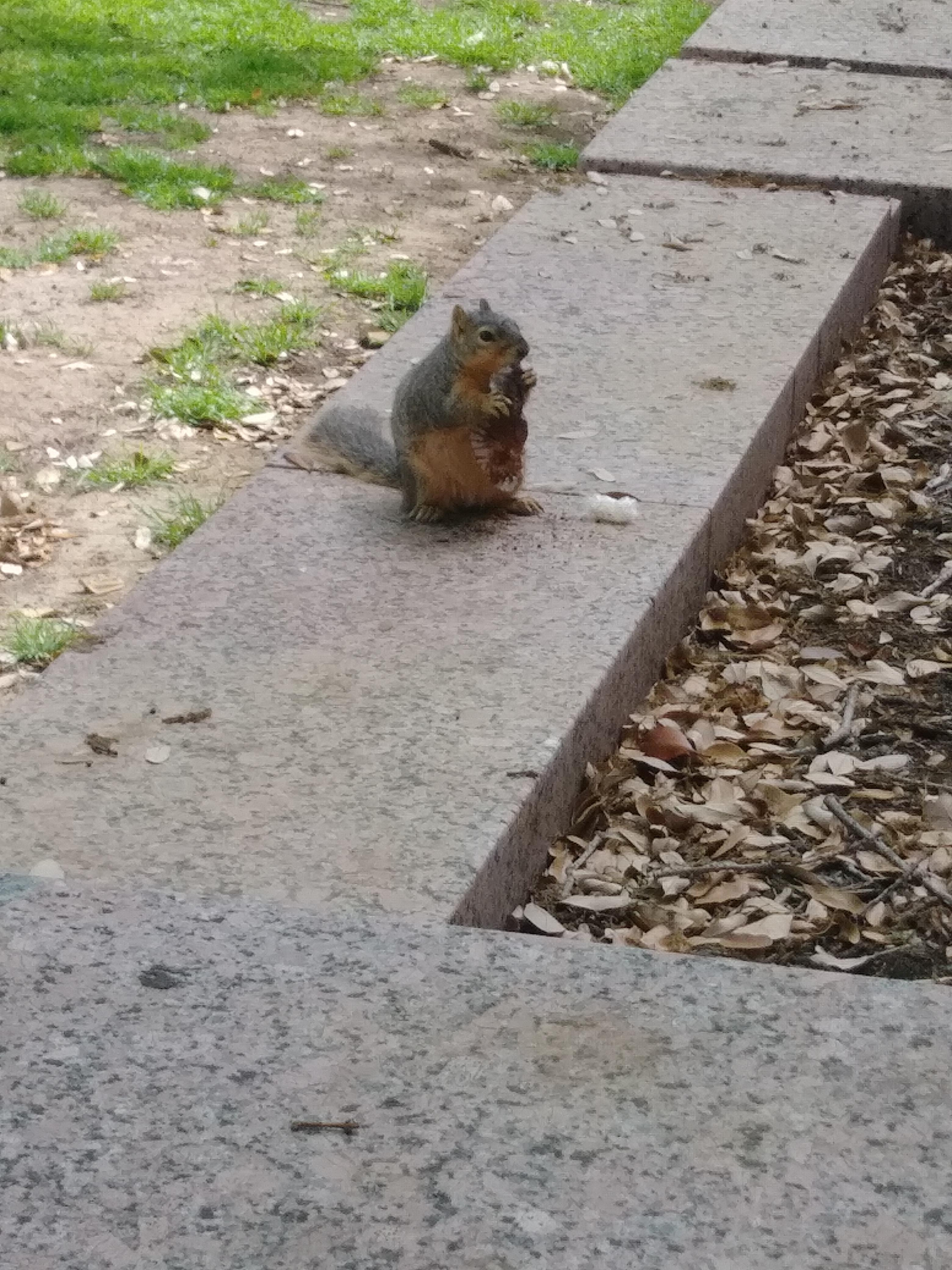 fat squirrel licking a