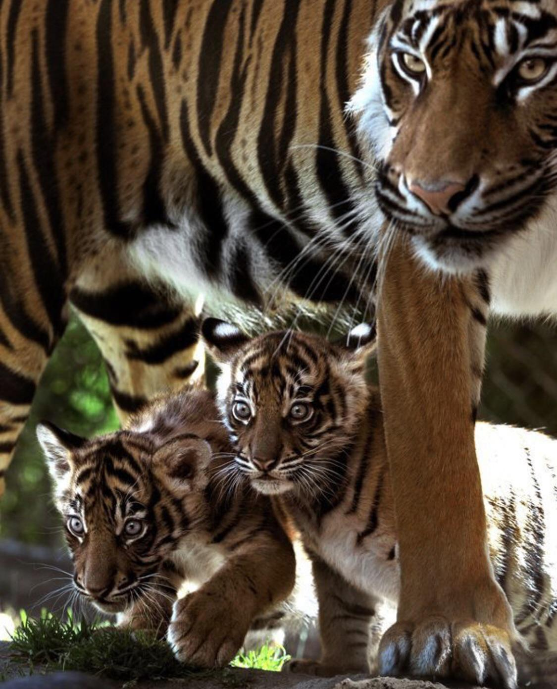 tiger mum and two