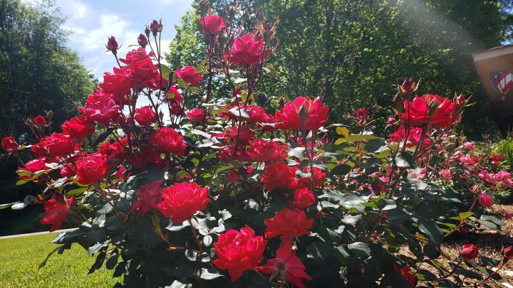Rose bush [3840 x 2160]