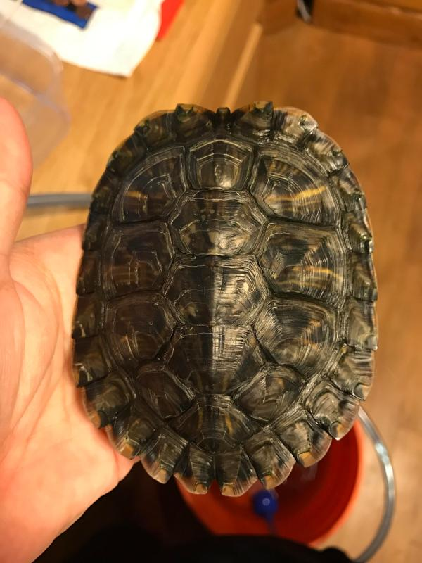 Red Eared Slider Shell - Year of Clean Water