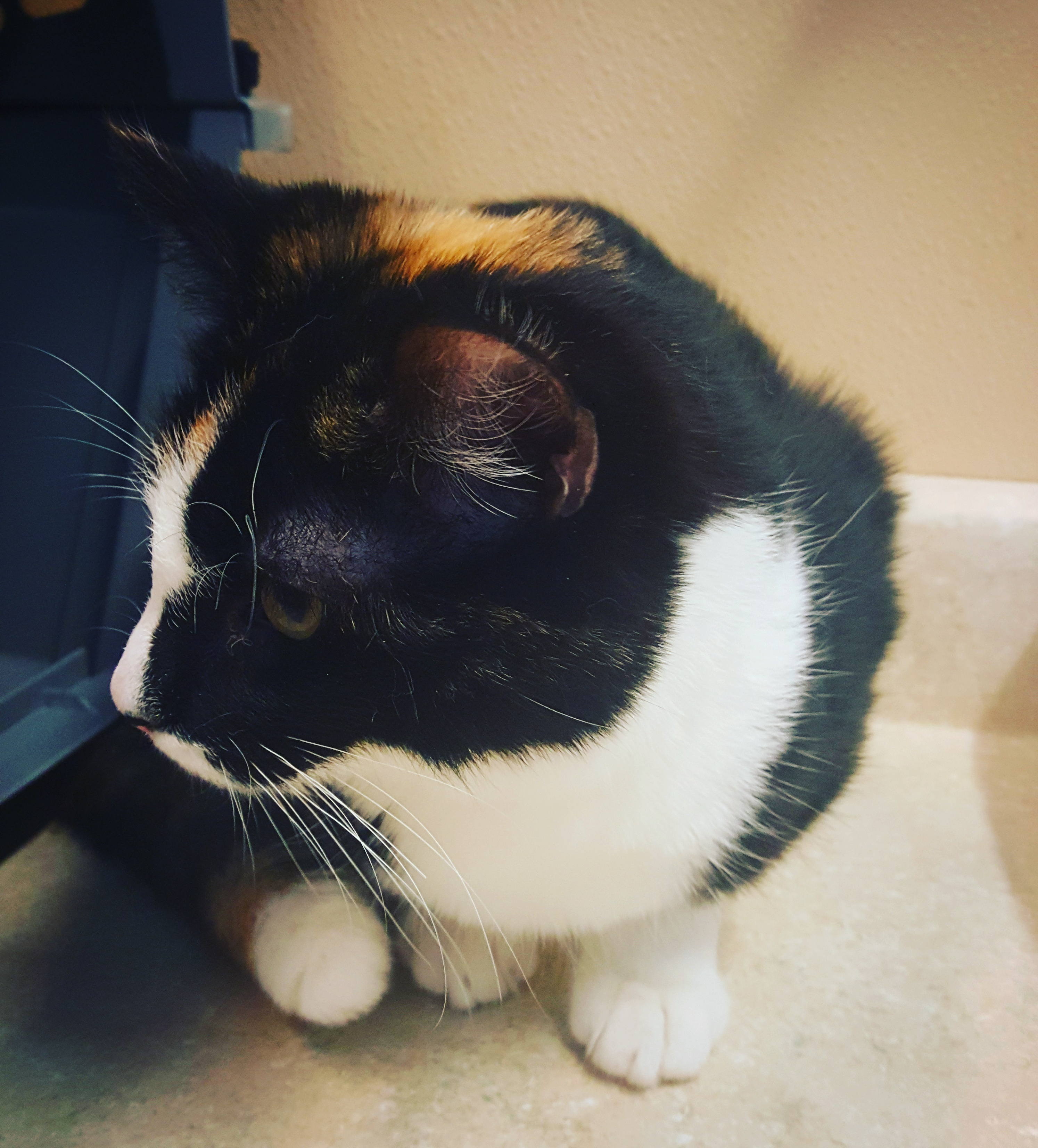 Only 0 033 Of Calico Cats Are Male Meet Cedric