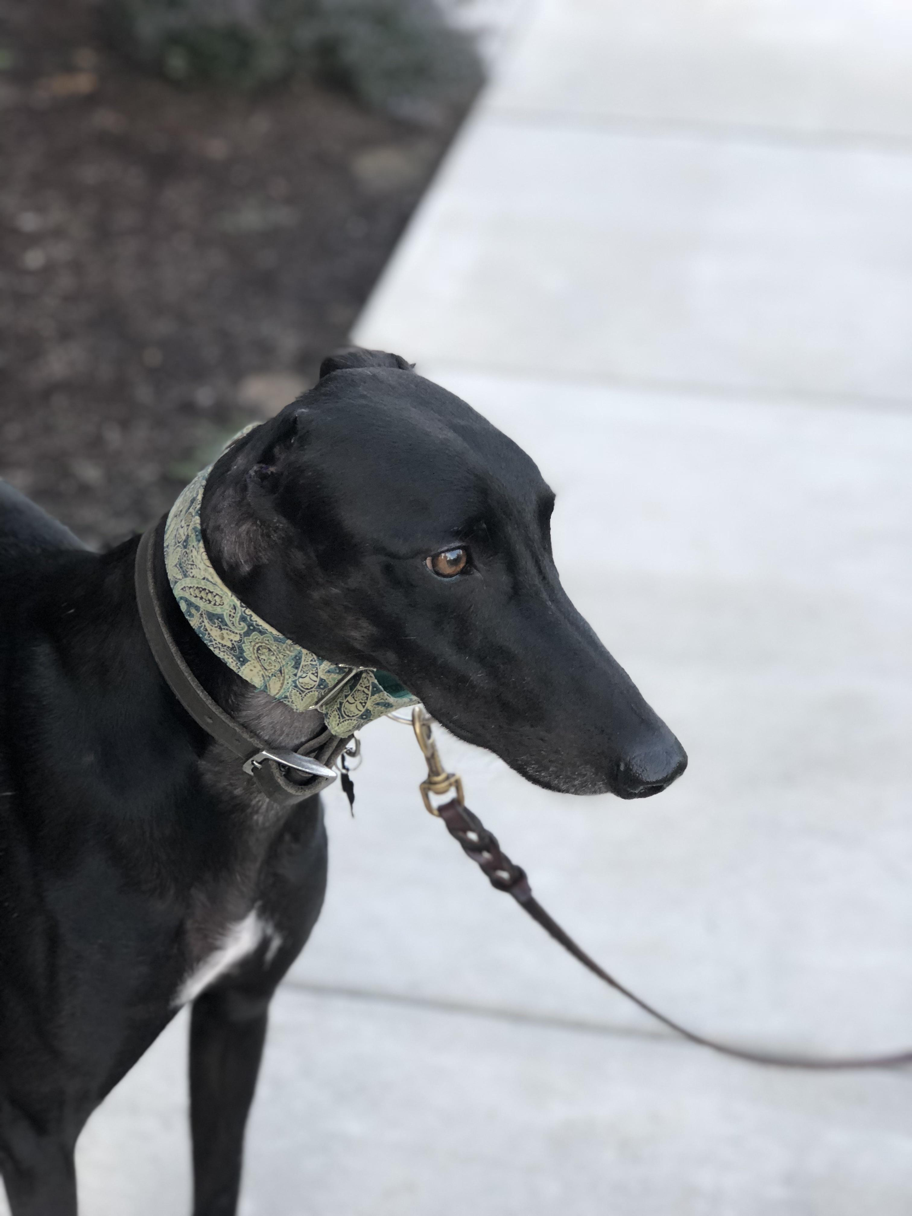 Dog With No Ears : Fergus, Ear!!, Often, Looks, Other, Greyhounds, Actually, Wonder