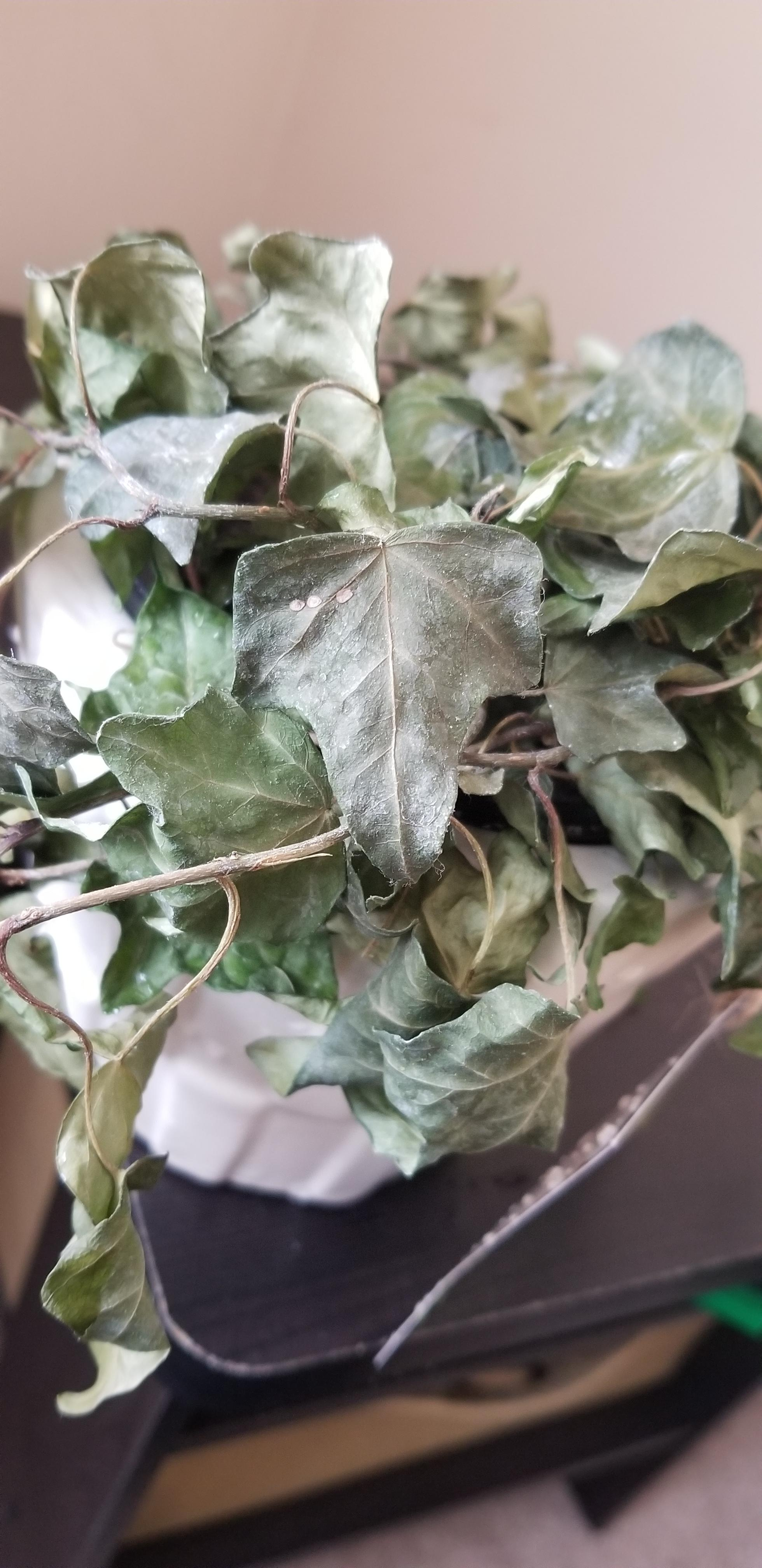 Ivy leaves drying out but not falling off - help ...