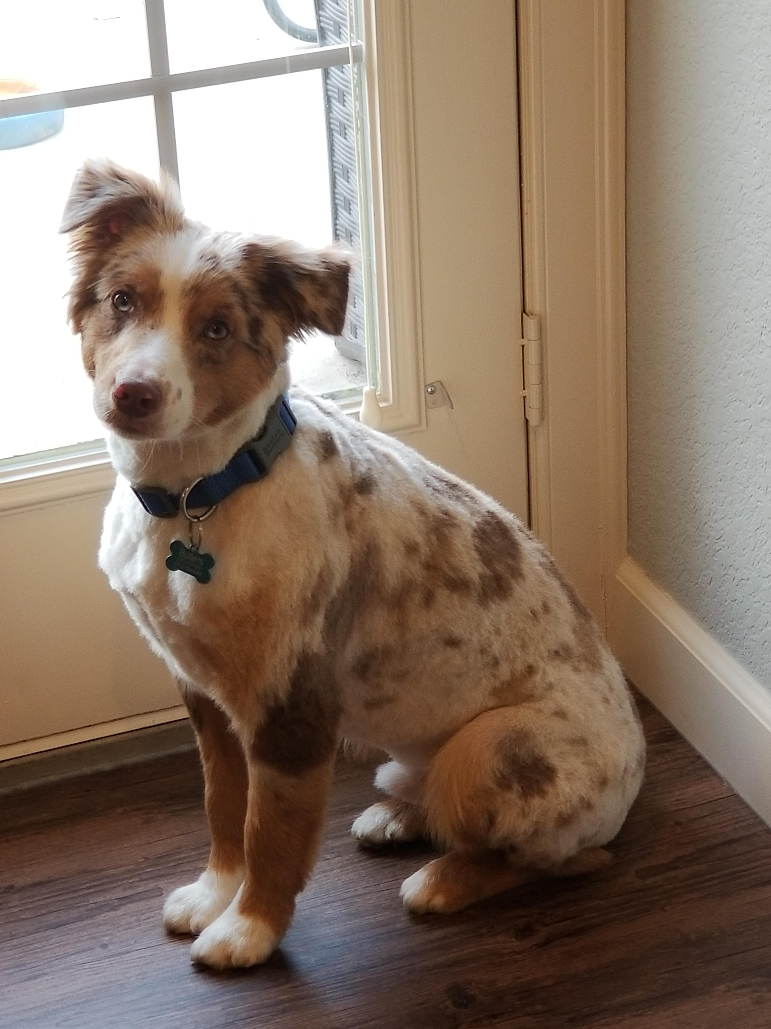 Australian Shepherd Shaved : australian, shepherd, shaved, Typically, Their, Back?, Trimmed, Specifically, Asked, Shaved,