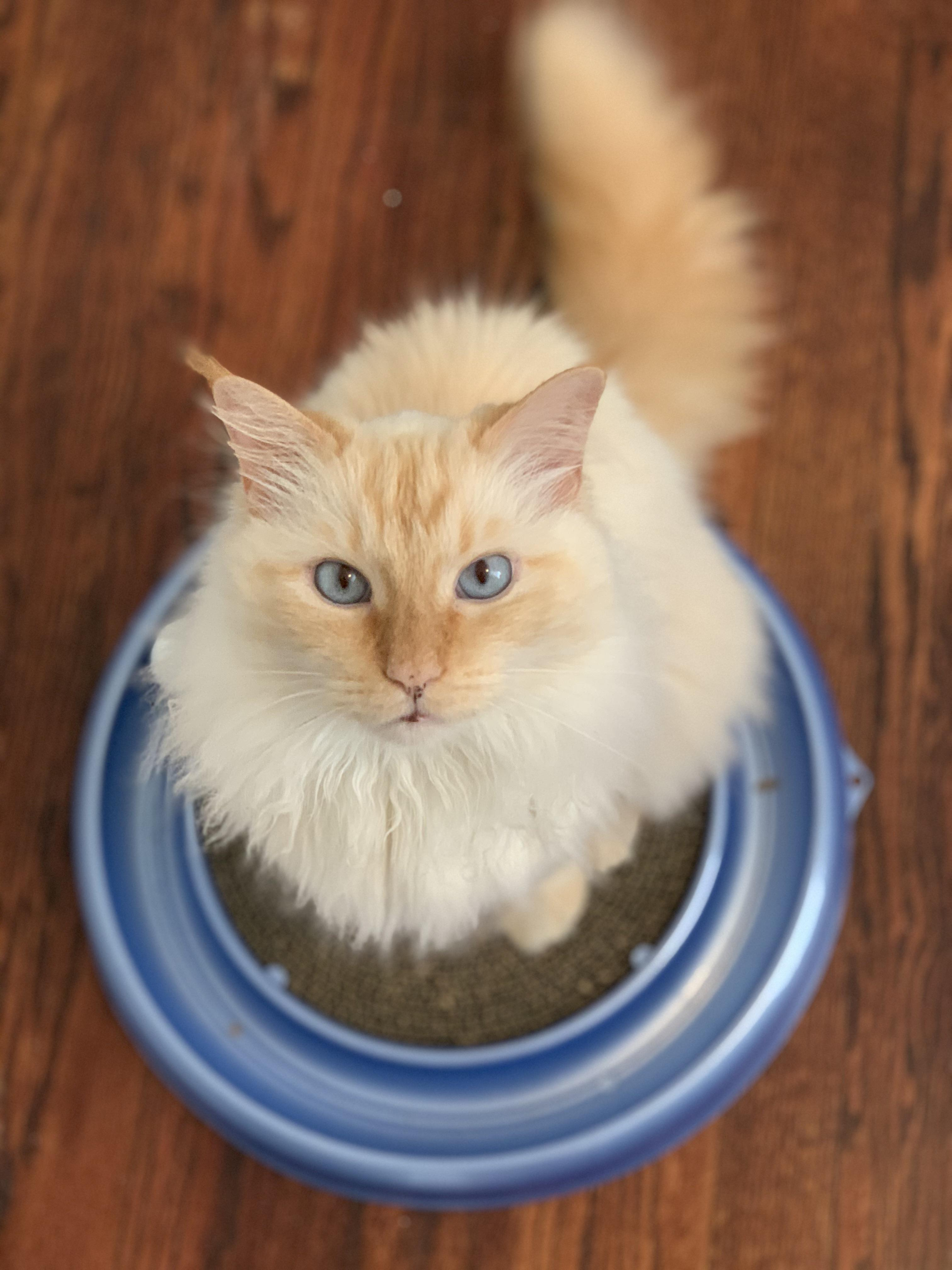 Flame Point Maine Coon : flame, point, maine, Maine, Flame, Point, Siamese, Mainecoons