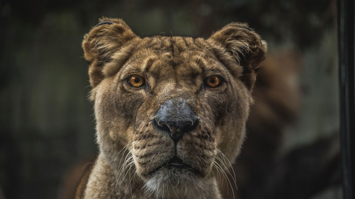Lioness [3840 x 2160]