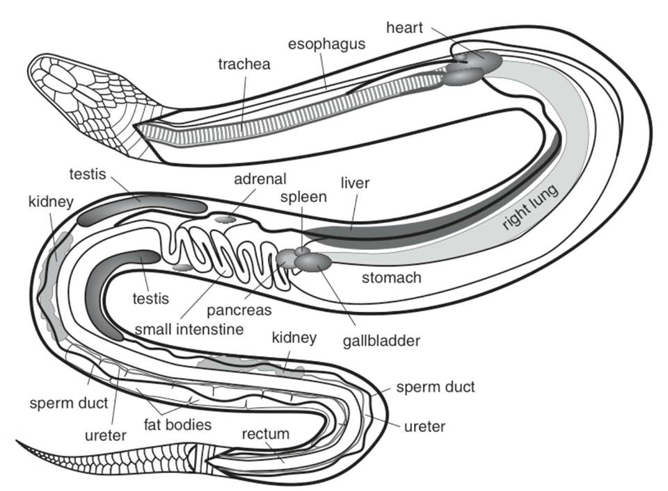 snake anatomy diagram land rover discovery 2 srs wiring anatomical of a snakes
