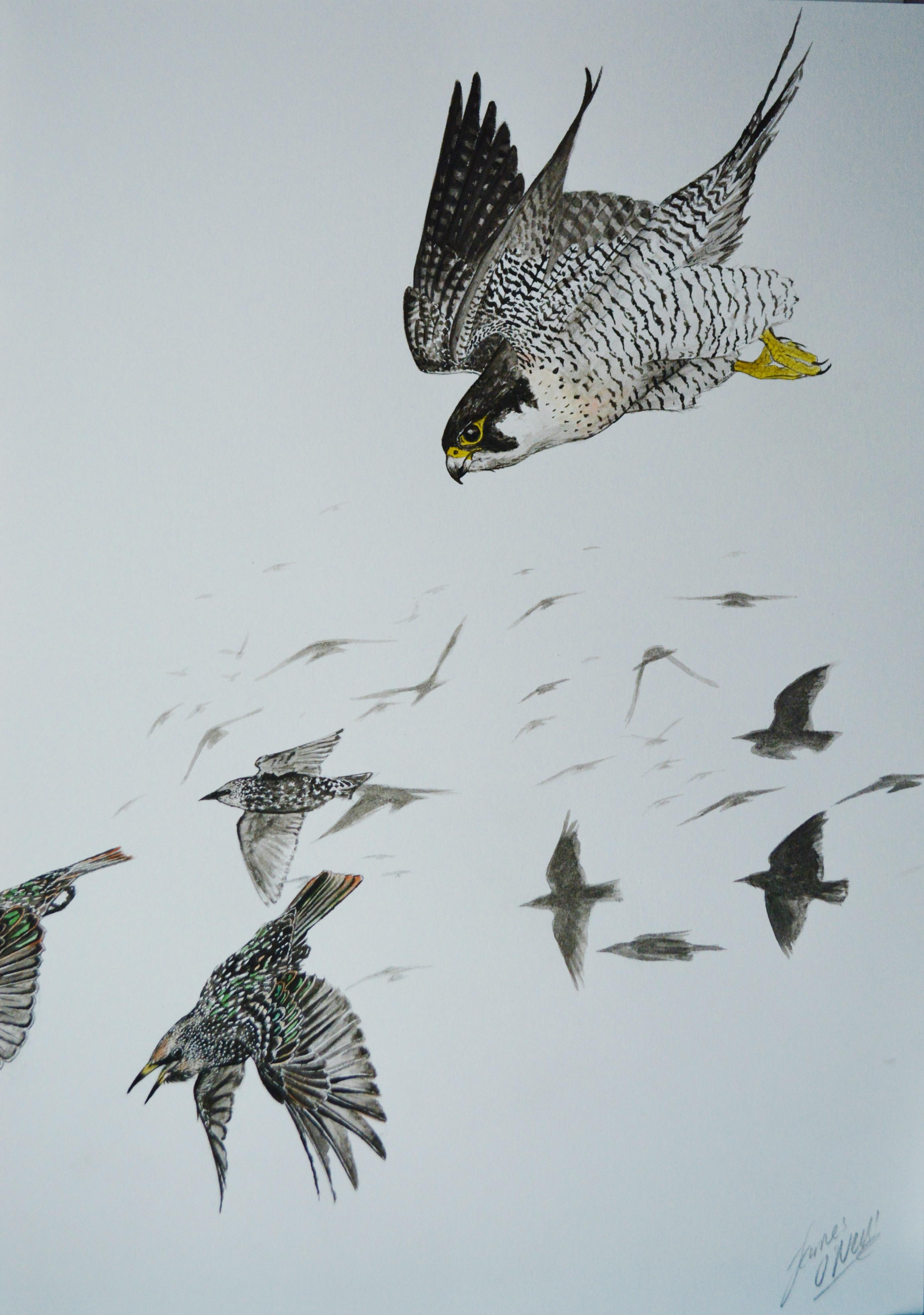 Animals And Birds Wallpaper Peregrine Falcon Hunting Starlings Watercolour A4 Art