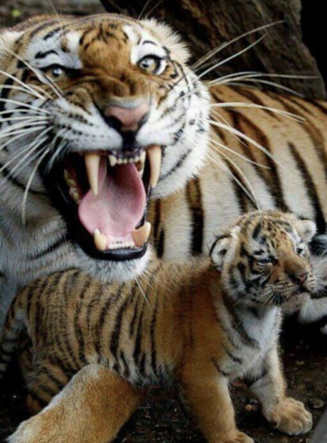 protective tiger mum hardcoreaww