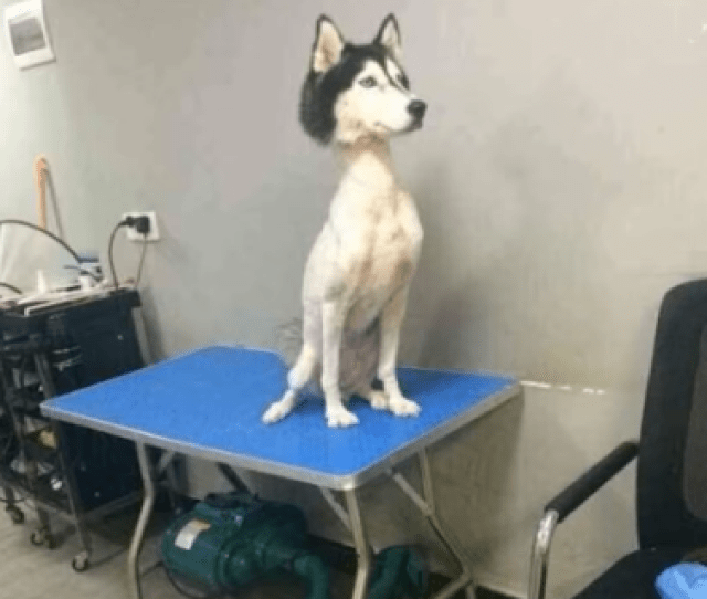 My Weird Fetish Of Shaved Huskies