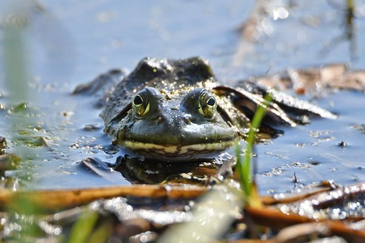 Bullfrog (Photo credit to Glenn P Knoblock) [2000 x 1333]