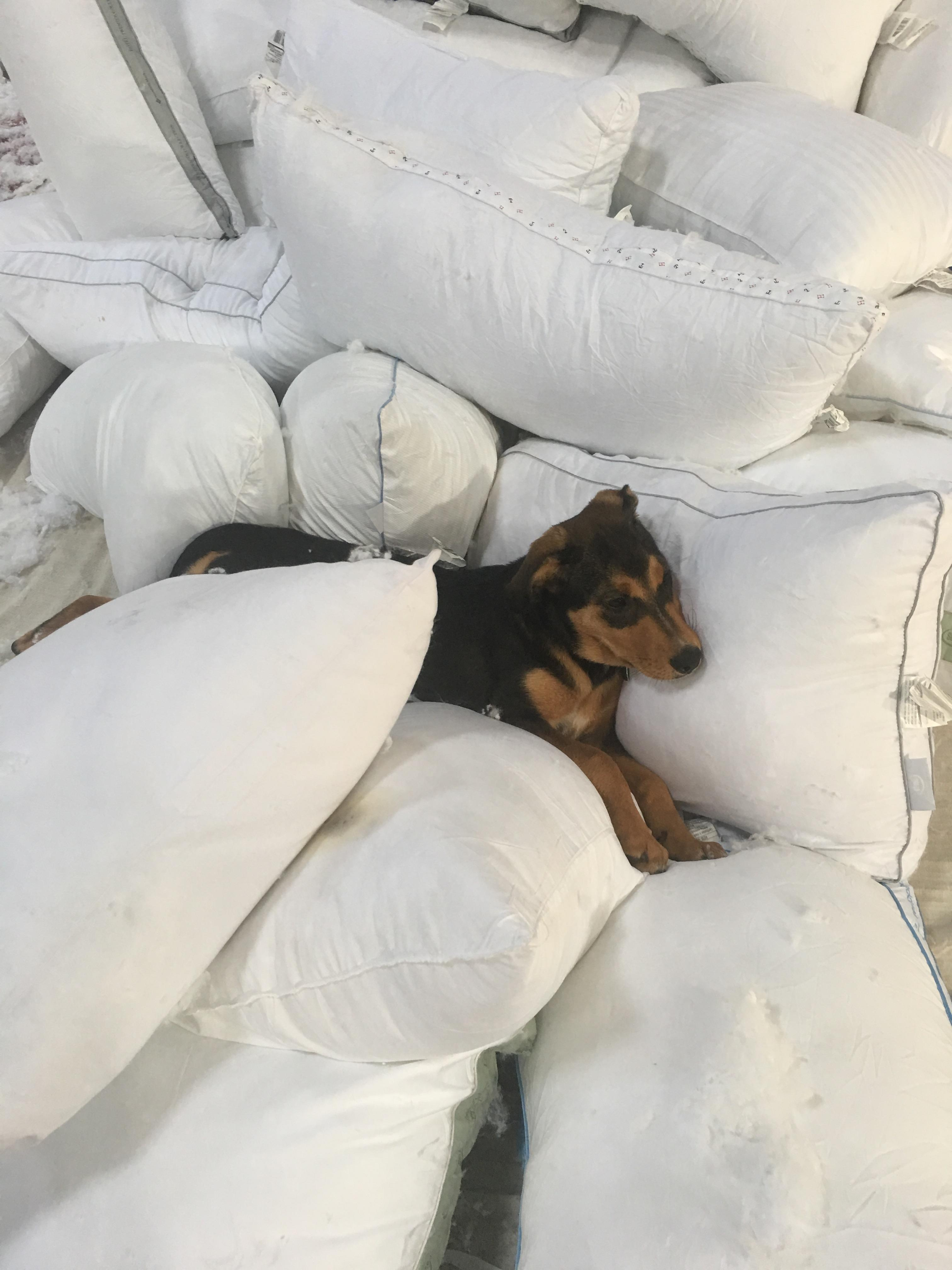 My-pillow-factory Brought My Dog To My Aunt 39s Pillow Factory This Proceeded
