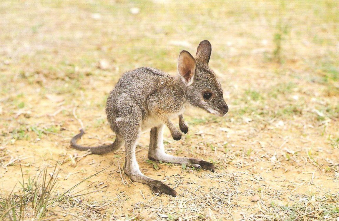 kangaroo joey aww