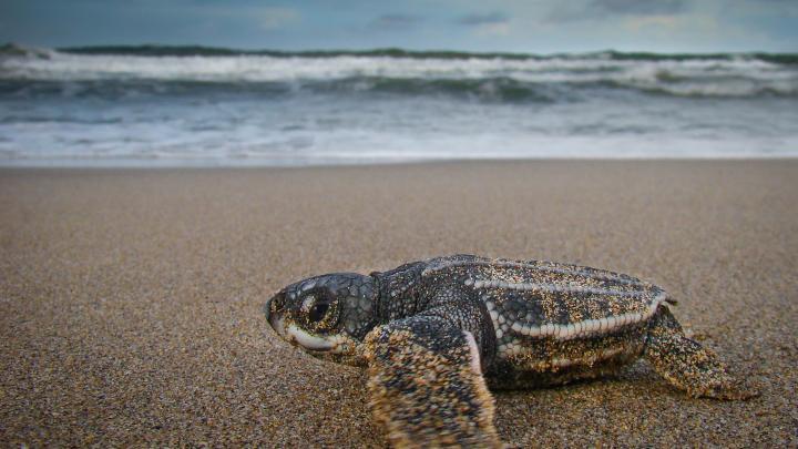Leatherback hatchling (OC)