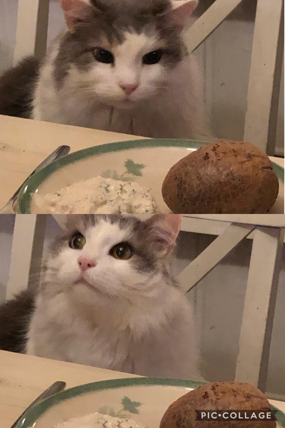 Potato Cat Meme : potato, Invest, Potato,, Potentail, Folks, MemeEconomy