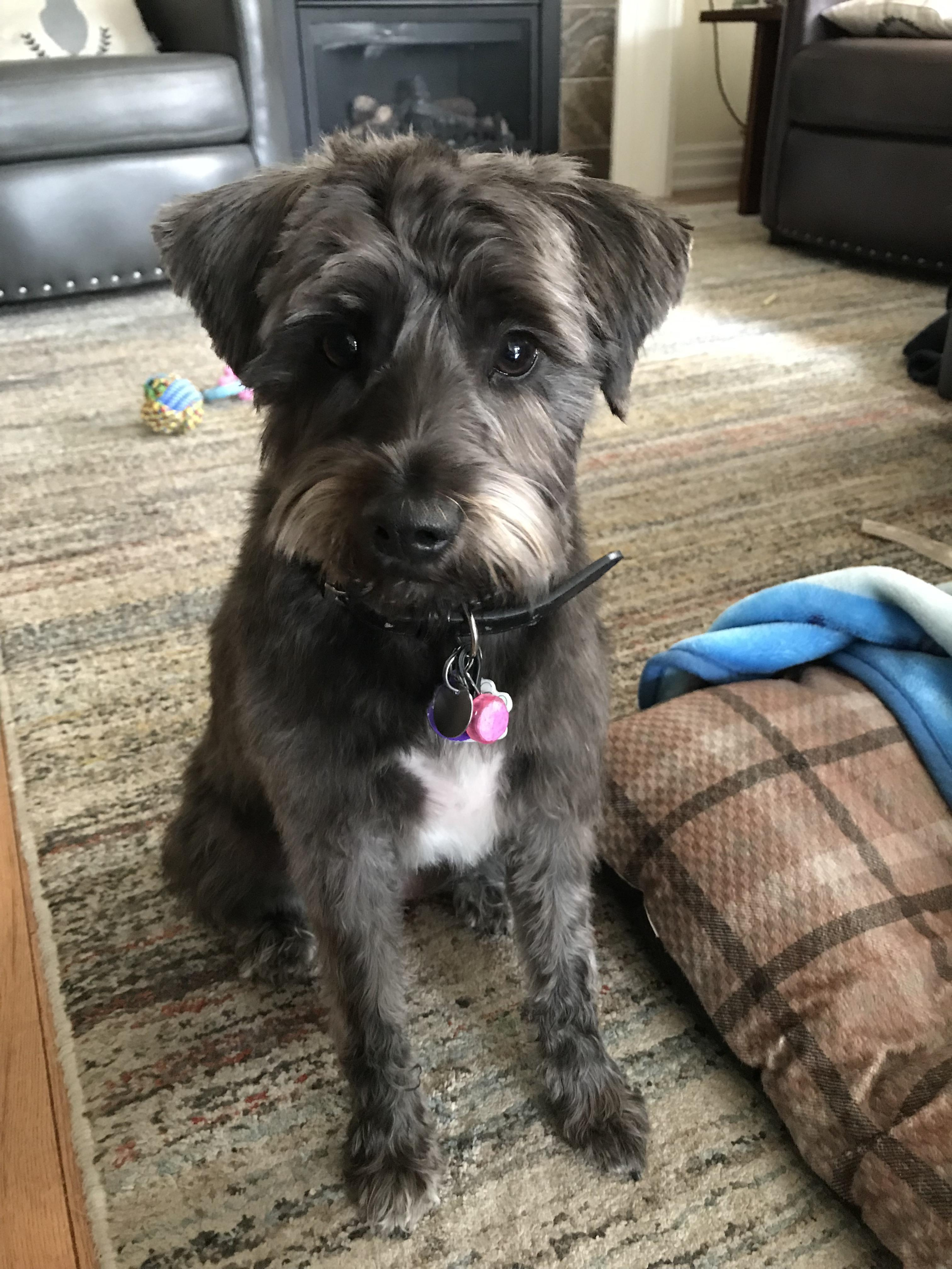 Schnauzer Cut Short : schnauzer, short, Scout, Looking, Adorable, Fresh, Summer, Cut.,,, Won't, Teased, Puppy, Class, Muppet!!, Schnauzers