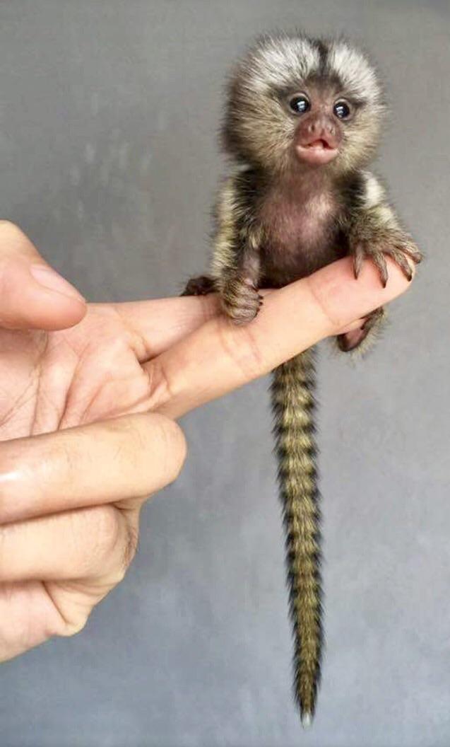 A Pygmy Marmoset