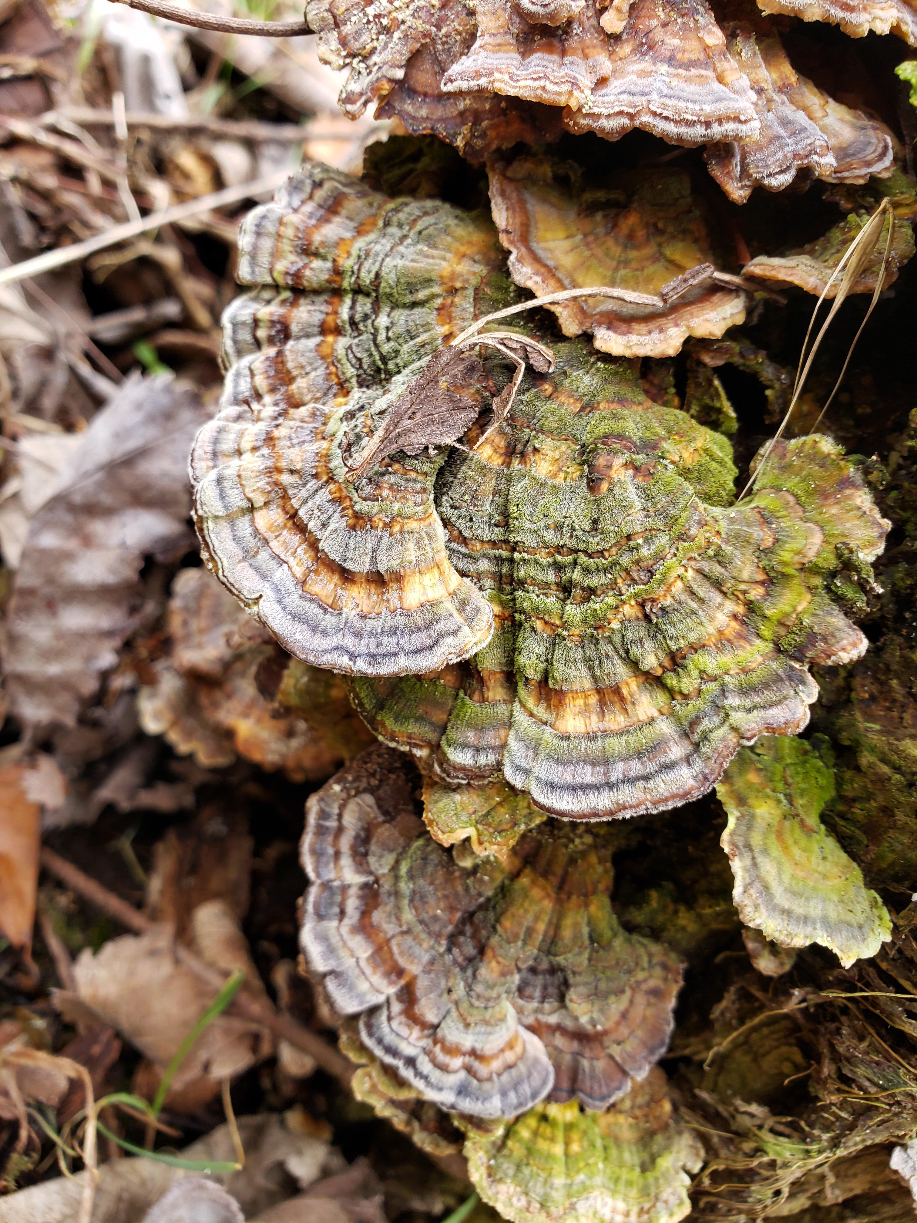 What seems to be a turkey tail mushroom I found hiking ...
