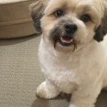I Ve Never Gotten The Puppy Cut Before On My Boy But Here He Is Peaches With A Puppy Cut Shihtzu