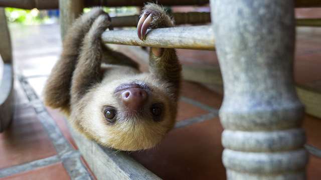 These Orphaned Baby Sloths In Costa Rica Get A New Chance