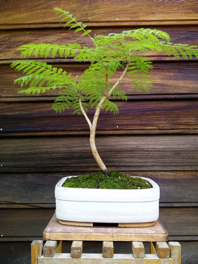 Royal Poinciana Bonsai : royal, poinciana, bonsai, Royal, Poinciana, Bonsai, Project