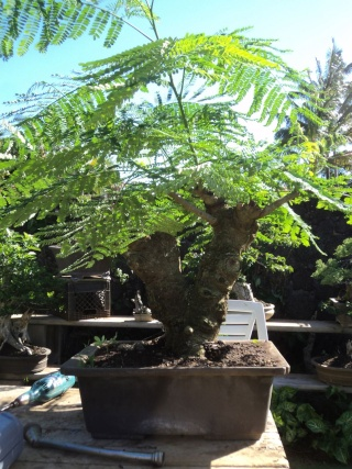 Hoping to learn more about bonsai'ing Royal Poinciana's / Flame Tree