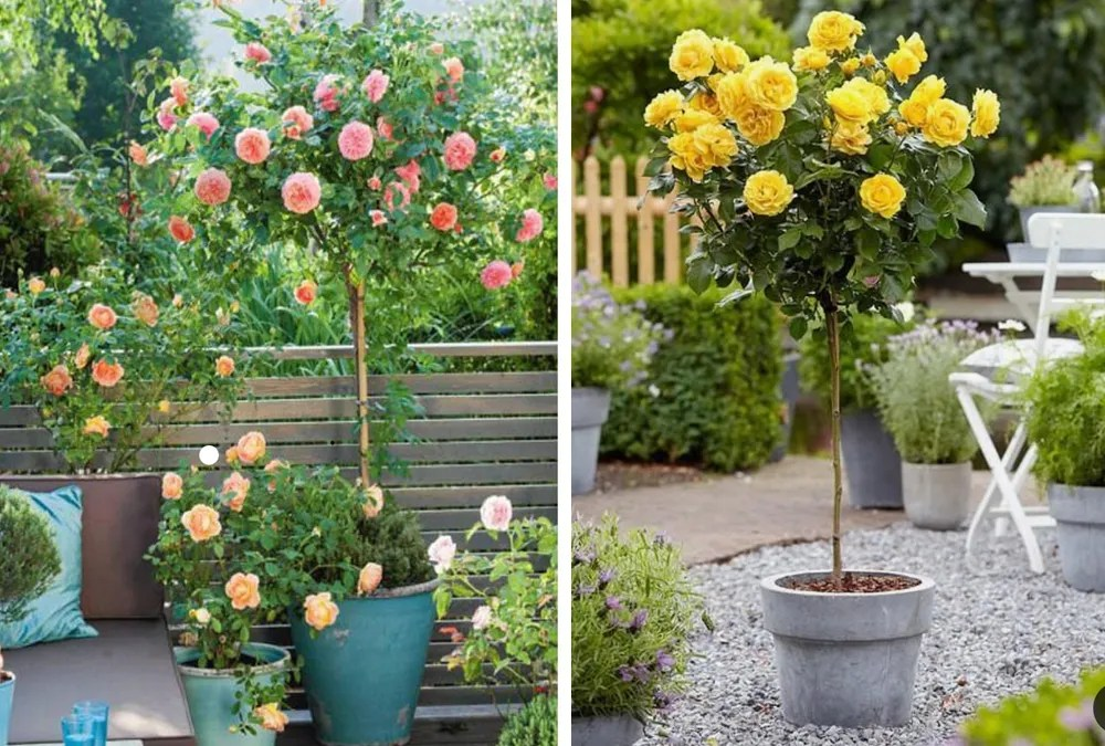 growing rose trees in containers the