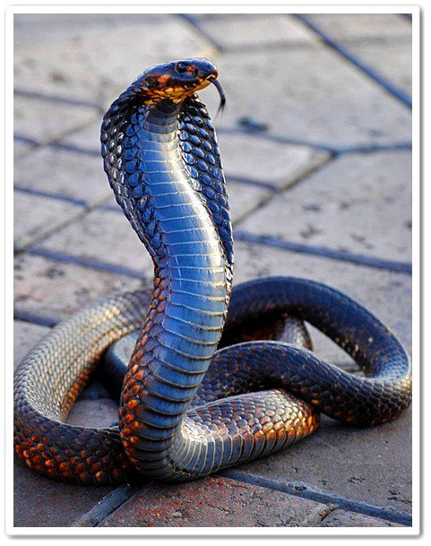 Le Serpent Le Plus Dangereux Du Monde : serpent, dangereux, monde, Serpent, Venimeux, MONDE, ANIMAUX