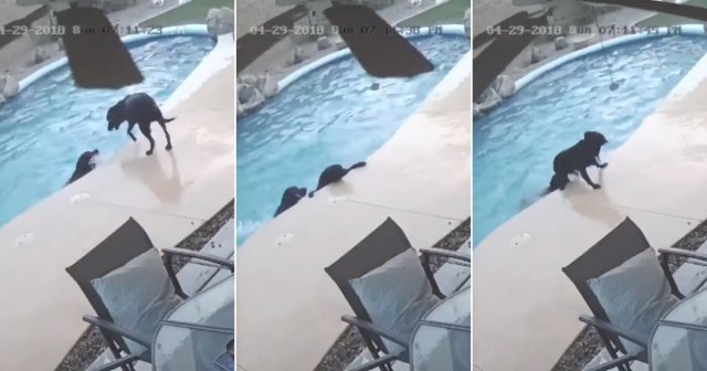 Footage Captures The Moment Brave Dog Jumps Into Pool To Save His Drowning Friend