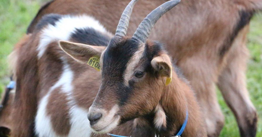 mangeons local bzh e1610980555481.jpg?resize=1200,630 - Dijon : Ils tuent deux chèvres et improvisent un barbecue dans la cour de leur immeuble