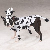 Mikey, the awesome cow who thinks she's a dog. : pics