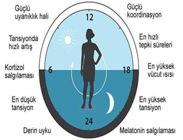biyolojik saat ile ilgili görsel sonucu