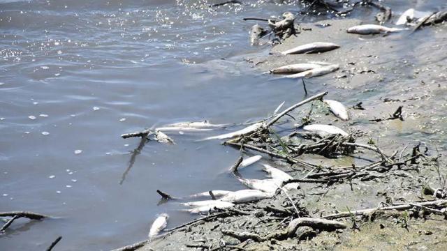 Karakaya Barajı'nda toplu balık ölümleri