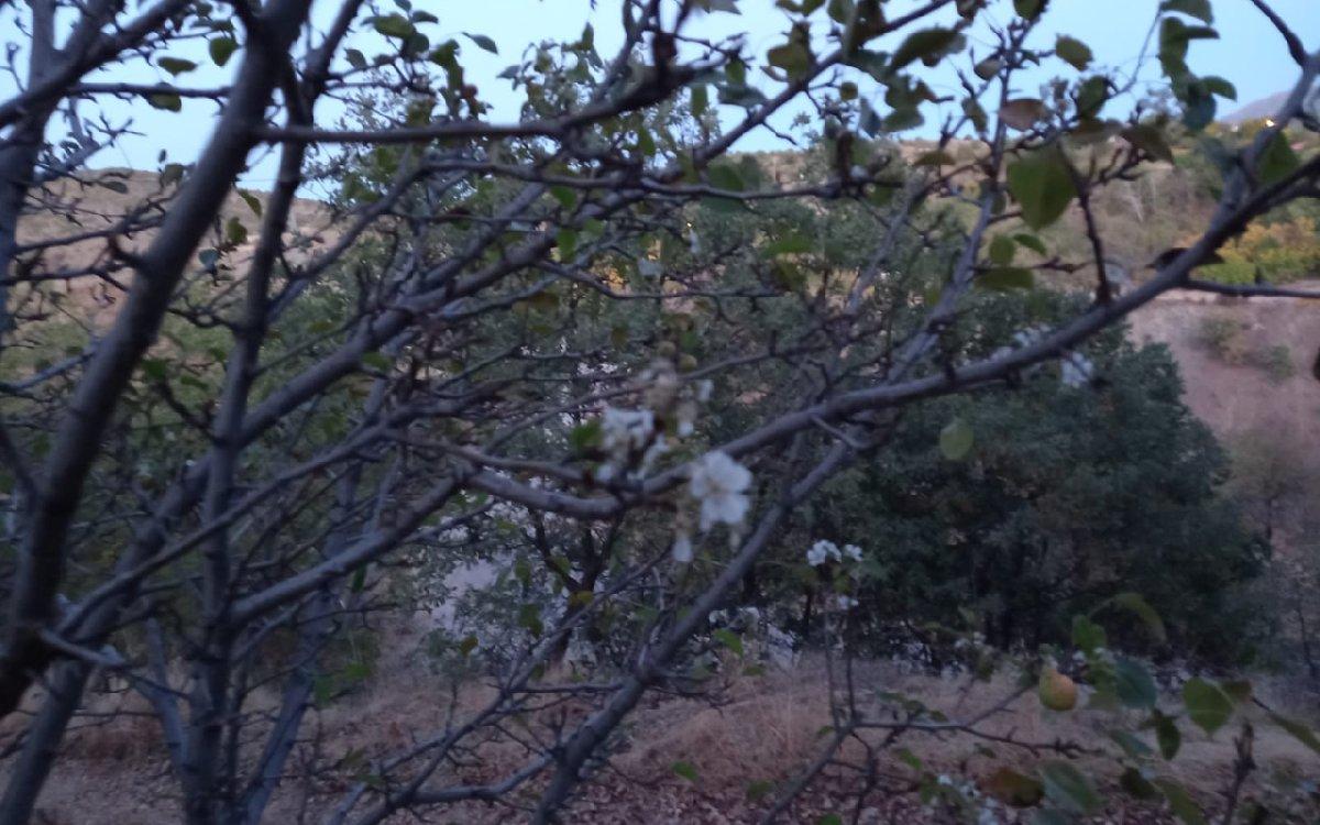 Kiraz ağaçlarını görenler çok şaşırdı