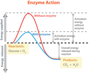 biochemistry  What happens at the top of the energy