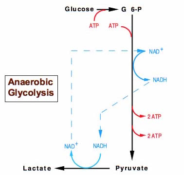 stages of glycolysis and fermentation diagram turn signal brake light wiring cellular respiration how is nad used in lactic acid lactate