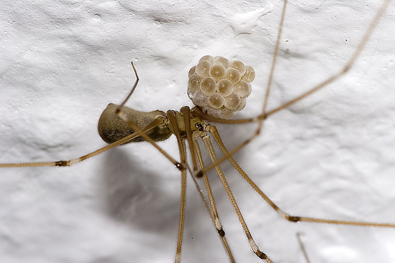 Home How Do I Remove A Daddy Long Legs Egg Sac Without