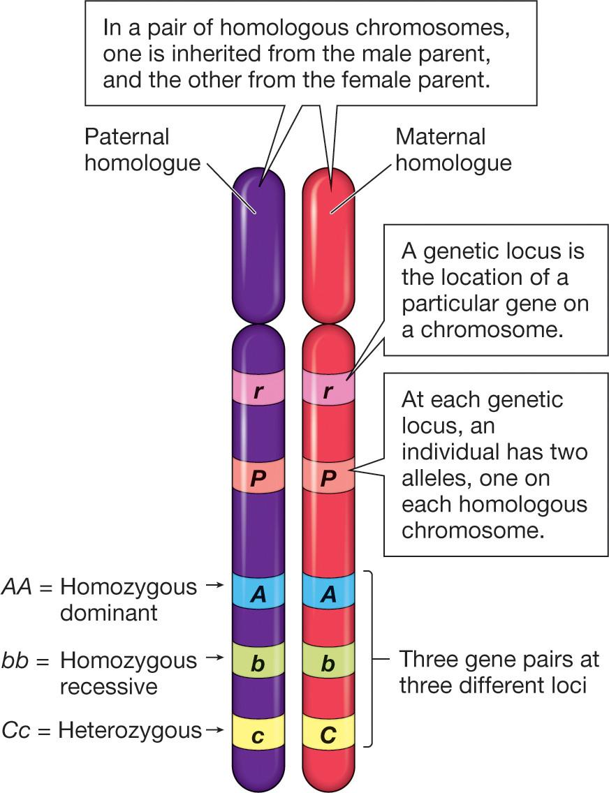 genetics - What are homologous chromosomes? - Biology ...