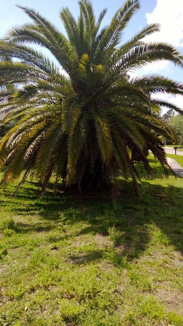 Identification What Kind Of Palm Tree Is This And How Do I Care For It Gardening