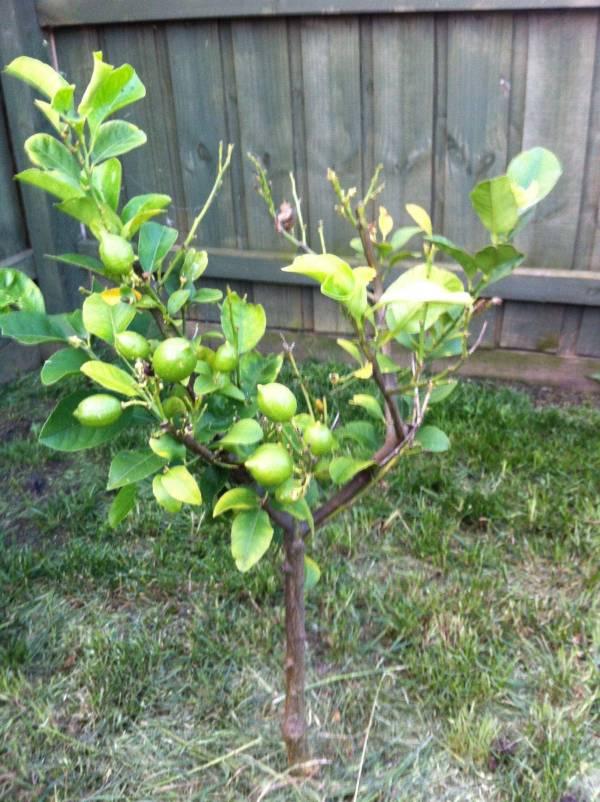 What Does Lemon Tree Look Like