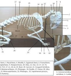 rabbit skeleton [ 1469 x 1047 Pixel ]