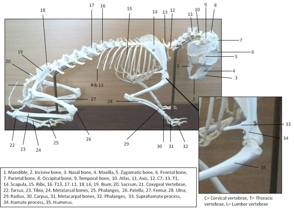 medium resolution of rabbit skeleton